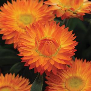 Bracteantha Mohave Orange Lpobramor - Garden Express Australia