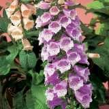 Digitalis Carousel Lavender