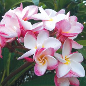 Frangipani Valentines Perfumed Blush