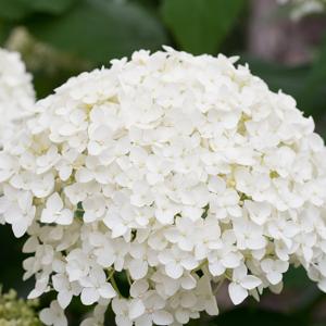Hydrangea Agnes Pevalli Lpohydape - Garden Express Australia