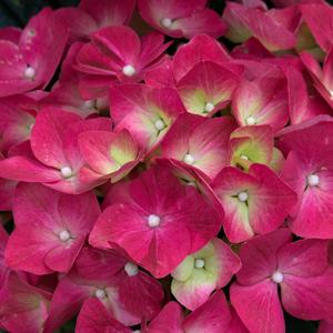 Hydrangea Hatfield Rose