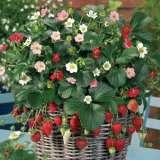 Strawberry Rainbow Treasure Pplstrrtr