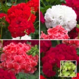 Geranium Marginata Collection
