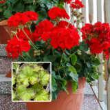 Geranium Marginata Scarlet