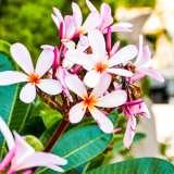 Frangipani Petite Pink