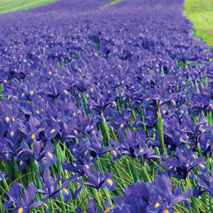 Crazy Dutch Iris Dark Blue PKDIRCDBL