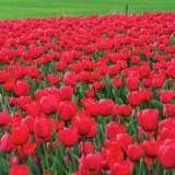 Crazy Tulip Apeldoorn