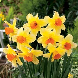 Daffodil Fortissimo
