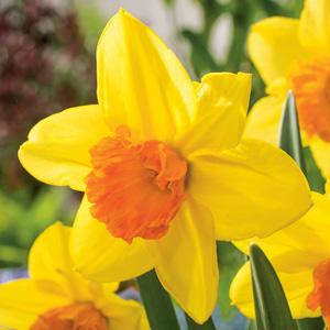 Daffodil Fortune