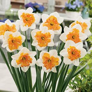 Daffodil Hungarian Rhapsody Pkdafhrh 2018 1