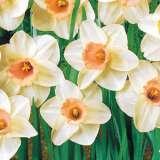Daffodil Mabel Taylor
