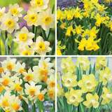 Daffodil Miniature Collection Coldafmco 2018