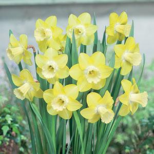 Daffodil Neon Pkdafneo 2018 1