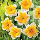 Daffodil Orangery