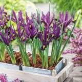Dwarf Iris Reticulata Js Dijt Pkirejsd 2017