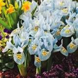 Dwarf Iris Histroides Katharine Hodgkins Pkirehkh 2017