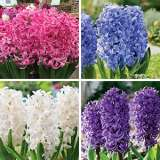 Hyacinth Collection 1 Colhyaco1 2018