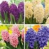 Hyacinth Collection 2 COLHYACO2 2018