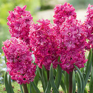 Hyacinth Red Diamond Pkhyardi 2018 1