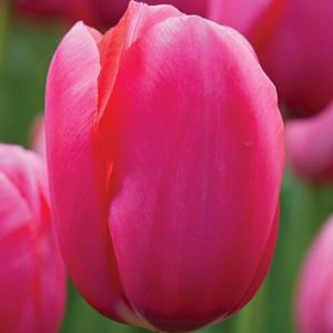 Tulip Renown