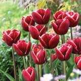 Tulip Armani Pktularm 2018