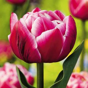 Tulip  Columbus
