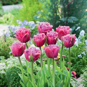 Tulip Mascotte Pktulmas 2018