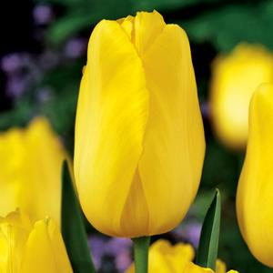 Tulip Muscadet