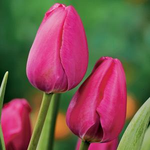 Tulip Prime Time