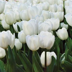 Tulip Silentia