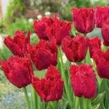 Tulip Versace