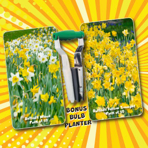 Daffodil Crazy Combo Pack – 100 Bulbs And Planter
