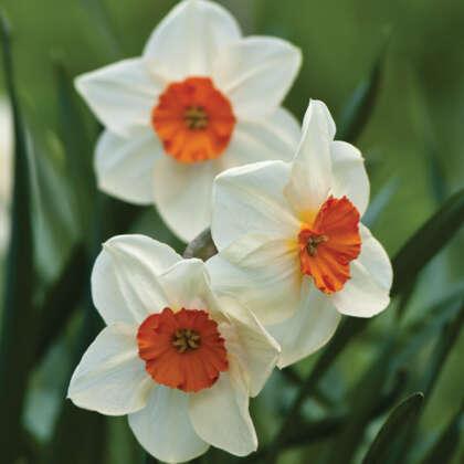 Daffodil Red Rocket