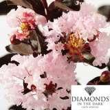 Diamonds In The Dark Crepe Myrtle Blush