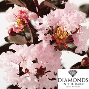 Diamonds In The Dark Crepe Myrtle Blush