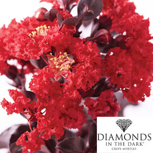 Diamonds In The Dark Crepe Myrtle Best Red