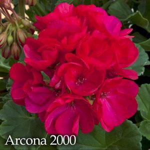 Pelargonium Zonal Arcona