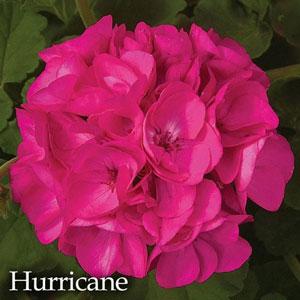 Pelargonium Zonal Hurricane
