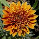 Gazania Sunset Jane (pbr)