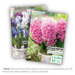 Mifgs Last Chance 6 Selected Dutch Iris Freesia & Hyacinth Packs