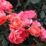 Delbard Rose Grimaldi