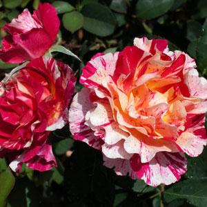 Delbard Rose Maurice Utrillo