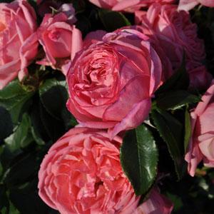 Delbard Rose Parfum De Paris