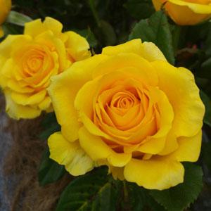 Rose Mabella