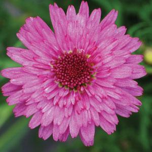 Argyranthemum Sugar Cheer
