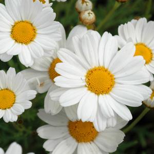 Argyranthemum Summit White