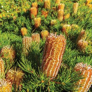 Banksia Stumpy Gold