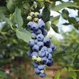 Blueberry Blue Rose