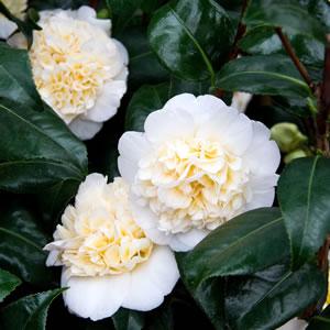 Camellia Elegans Champagne
