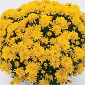Garden Mum Chrysanthemum Youpi Citron